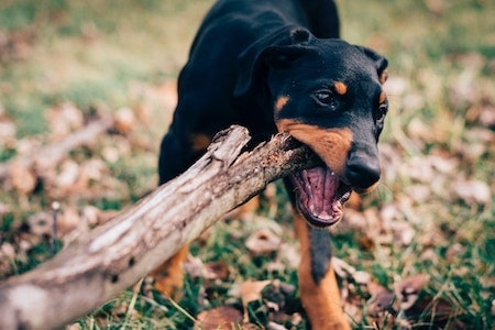 Dog Chewing
